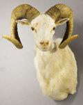 Zoology:Taxidermy, TEXAS DALL SHEEP SHOULDER MOUNT. ...