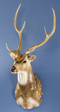 Zoology:Taxidermy, AXIS DEER SHOULDER MOUNT. ...