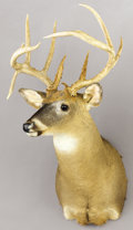 Zoology:Taxidermy, TEXAS DROPTINE WHITE-TAIL DEER SHOULDER MOUNT. ...