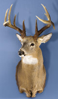 Zoology:Taxidermy, 182½ BOONE & CROCKETT IOWA WHITE-TAIL DEER SHOULDER MOUNT. ...