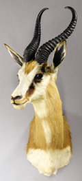 Zoology:Taxidermy, SOUTH AFRICAN SPRINGBUCK SHOULDER MOUNT. ...