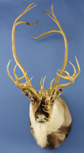 Zoology:Taxidermy, DOUBLE SHOVAL CARIBOU SHOULDER MOUNT. ...