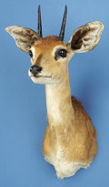 Zoology:Taxidermy, AFRICAN STEINBUCK SHOULDER MOUNT . ...