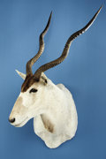 Zoology:Taxidermy, ADDAX ANTELOPE SHOULDER MOUNT. ...