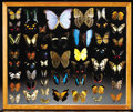 Zoology:Taxidermy, BUTTERFLY DISPLAY CASE. ...