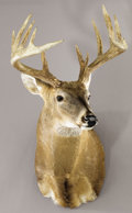 Zoology:Taxidermy, 12-POINT WHITE-TAIL BUCK SHOULDER MOUNT. ...