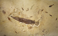 LARGE AND RARE FOSSIL GAR FISH