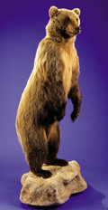 Zoology:Taxidermy, STANDING GRIZZLY BEAR FULL-BODY MOUNT...