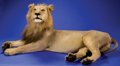 Zoology:Taxidermy, AFRICAN LION FULL-BODY MOUNT . ...