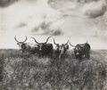 Western Expansion, Photograph of four Long Horn Steers - ...