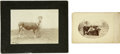 Western Expansion:Cowboy, Two Cabinet Card Photographs of Cows, one with Cowboy in Woolies ca1890s - ... (Total: 2 Items)