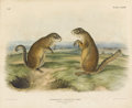 Prints:American, After JOHN JAMES AUDUBON (American, 1785-1851). SpermophilusFranklinii Sabine, Franklins Marmot Squirrel, Male andFemale...