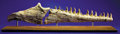 Fossils:Amphibians & Reptiles, MOSASAUR JAW SECTION. ... (Total: 2 Items)