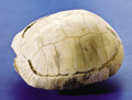Fossils:Amphibians & Reptiles, FOSSIL DRY LAND TURTLE. ...
