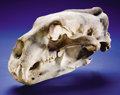 Zoology:Osteology, BOONE & CROCKETT RECORD POLAR BEAR SKULL. ...