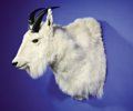 Zoology:Taxidermy, BOONE & CROCKETT RECORD ROCKY MOUNTAIN GOAT SHOULDER MOUNT. ...