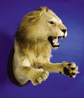 Zoology:Taxidermy, AFRICAN LION HALF-BODY MOUNT . ...