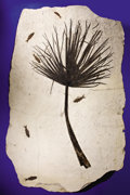 Fossils:Paleobotany (Plants), EXTREMELY RARE FOSSIL PALM FROND WITH FISH. ...
