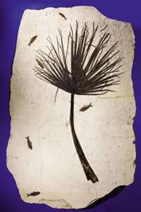 EXTREMELY RARE FOSSIL PALM FROND WITH FISH