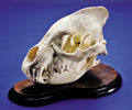 Zoology:Osteology, AFRICAN SPOTTED HYENA SKULL. ...