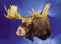 Zoology:Taxidermy, RECORD BOOK SHIRAS MOOSE SHOULDER MOUNT. ...