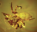 Amber, AMBER-ENTRAPPED SPIDER. ...
