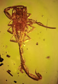 Amber, EXTREMELY RARE AMBER-ENTRAPPED SCORPION. ...