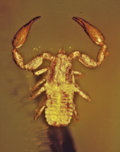 Amber, PSEUDOSCORPION IN AMBER. ...