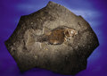 Fossils:Fish, SPECTACULAR FOSSIL FISH. ...
