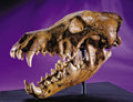 Fossils:Mammals, AN EXTREMELY RARE DIRE WOLF SKULL FROM THE RANCHO LA BREA FORMATION OF CALIFORNIA. ... (Total: 2 Items)