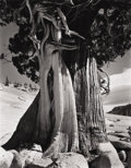 EDWARD WESTON (American 1886-1958) Juniper at Lake Tenayu, 1937 Gelatin silver print, mntd 9-1/2 x 7-1/2 inches (24.1