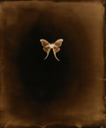 Photography :20th Century , KEITH CARTER (American, b. 1948). Luna Moth, 2001. Chromogenic, 2001. 24 x 20 inches (61.0 x 50.8 cm). Verso: signed, ti...