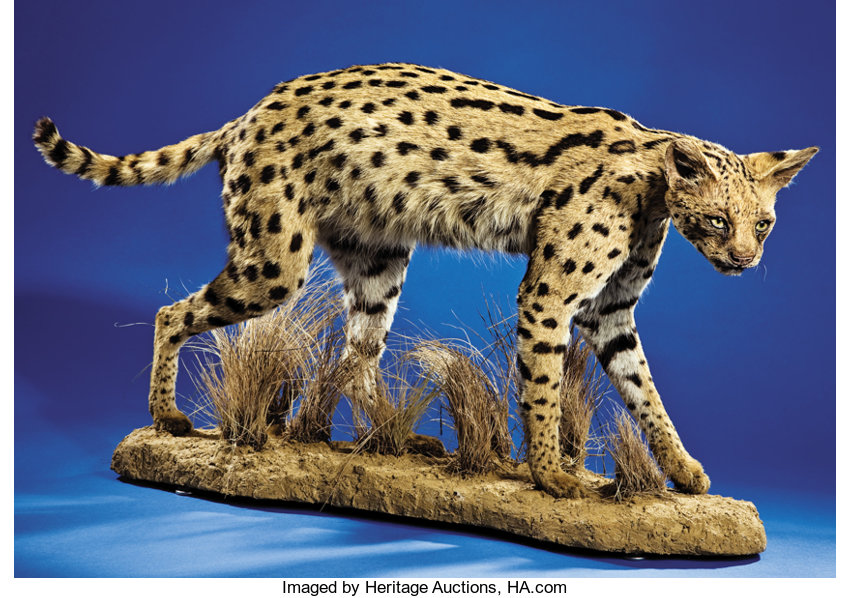 AFRICAN SERVAL CAT FULL-BODY MOUNT      Zoology Taxidermy