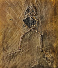 Fossils:Amphibians & Reptiles, LARGE FOSSIL FROG. ...