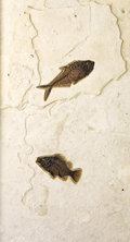 Fossils:Fish, SUPERB DOUBLE FISH PLATE. ...