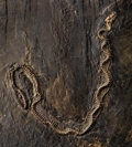 Fossils:Amphibians & Reptiles, INCREDIBLY RARE FOSSIL SNAKE. ...