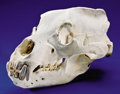 Zoology:Osteology, RECORD CLASS GRIZZLY BEAR SKULL. ...