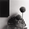 Photographs, ROBERT MAPPLETHORPE (American, 1946-1989). Untitled (Philodendron Leaf and Chive), 1980. Silver gelatin, 1980. Paper: 20...