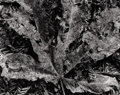 Photography :20th Century , WYNN BULLOCK (American, 1902-1975). Decaying Leaf, 1955. Silver gelatin, circa 1955. 7-1/2 x 9-1/2 inches (19.1 x 24.1 c...