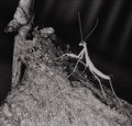 Photography :20th Century , MARGARET BOURKE-WHITE (American, 1904-1971). Newly Born Praying Mantis (Preying Mantis Series # 2), circa 1939. Silver g...