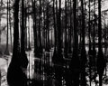 Photography :20th Century , BRETT WESTON (American, 1911-1993). Trees in Swamp, circa 1950. Silver gelatin contact, circa 1950. Paper: 8 x 10 inches...