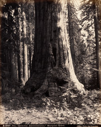 "Attributed to CARLETON EUGENE WATKINS (American, 1829-1916) The ""Governor Commissioner"" Mariposa Grove"