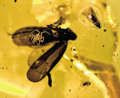 Amber, AMBER-ENTRAPPED INSECTS. ...
