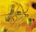 Amber, FIGHTING ANTS IN BALTIC AMBER. ...