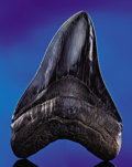 Fossils:Fish, UNCOMMONLY LARGE FOSSIL SHARK'S TOOTH. ...