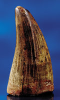 Dinosauria:Teeth, A SUPERB T. REX TOOTH . ...
