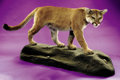 Zoology:Taxidermy, MOUNTAIN LION FULL-BODY MOUNT. ...