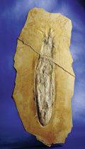 Fossils:Cepholopoda, EXCELLENT FOSSIL SQUID. ...