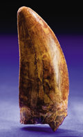 Dinosauria:Teeth, SUPERB DINOSAUR TOOTH. ...