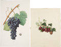 Antiques:Posters & Prints, Four Botanical Prints, Including One by Redouté: Aramon. [and:] Wilmot's Early Reds. [and:] Cerise commune. [and:] ... (Total: 4 Items)